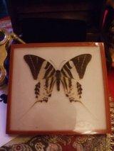 蝶のアクリル標本