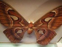 他の写真を見る3: ヨナグニサン 標本