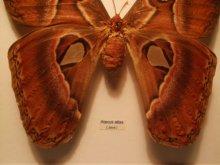 他の写真を見る1: ヨナグニサン 標本