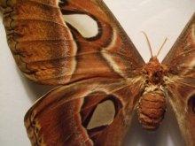 他の写真を見る2: ヨナグニサン 標本