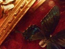 他の写真を見る1: 蝶 標本 金額装入り