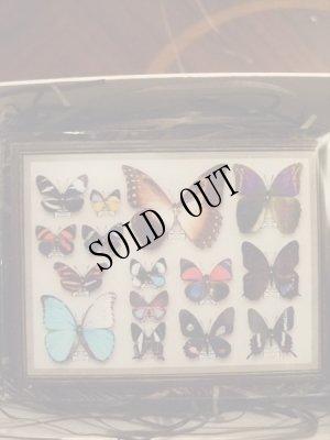 画像2: 再入荷◆架空壁面装飾『蝶の標本』