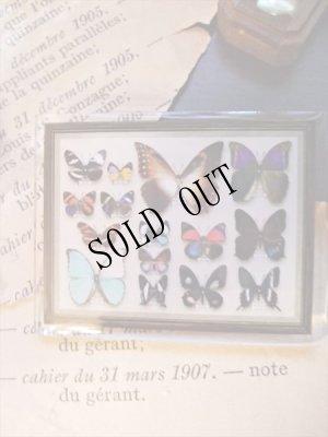画像1: 再入荷◆架空壁面装飾『蝶の標本』