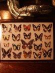 画像4: 【再入荷】◆架空壁面装飾『蝶の標本II』 (4)