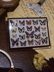 画像1: 【再入荷】◆架空壁面装飾『蝶の標本II』 (1)
